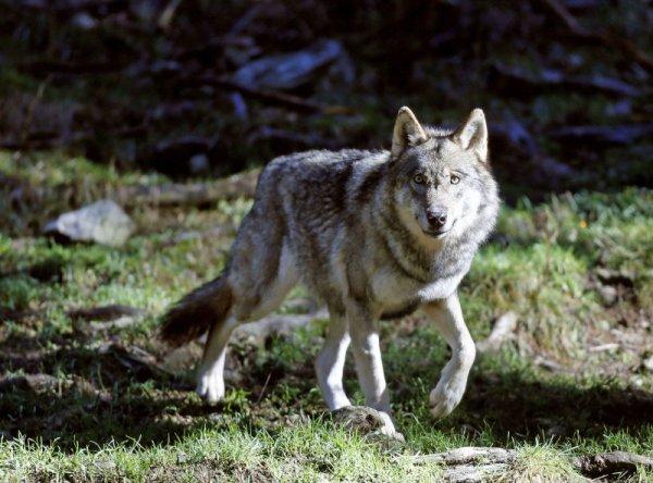 Un loup curieux
