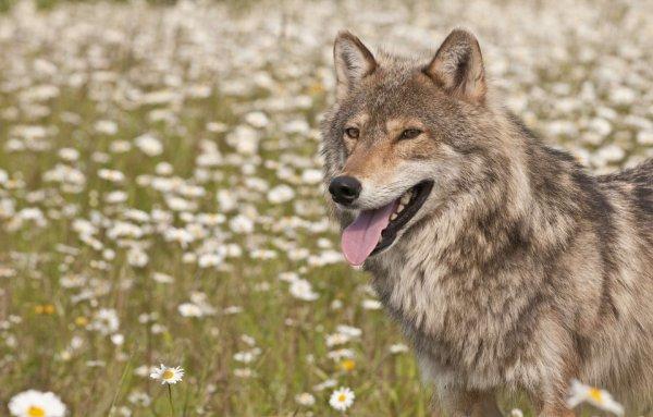 Un loup parmi les fleurs