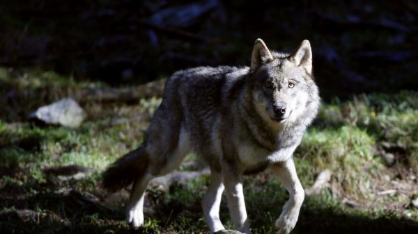 Un beau regard d'un loup