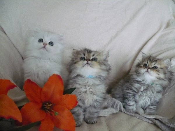 3 CHATONS A RESERVER !