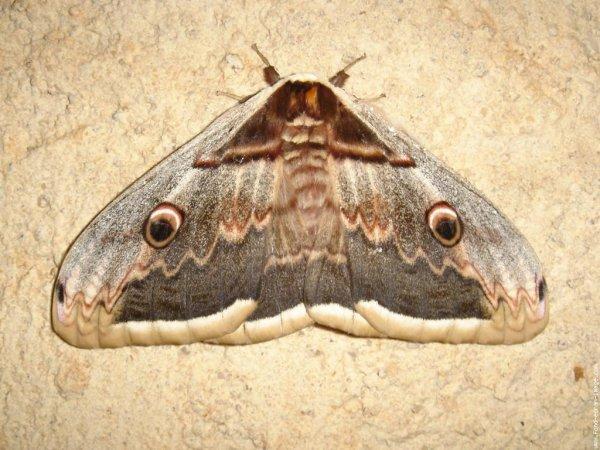 Papillon de nuit blog de xx love animals xx - Invasion papillon de nuit ...