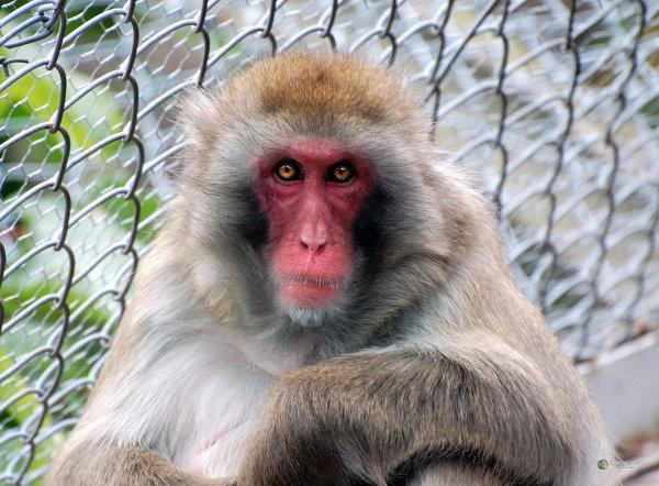 articles de xx love animals xx tagg s primates page 2 blog de xx love animals xx. Black Bedroom Furniture Sets. Home Design Ideas