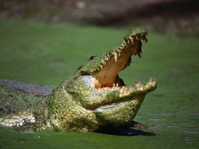 crocodile de kachikaly