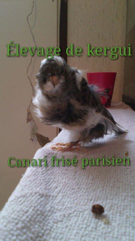 Canari frisé parisien