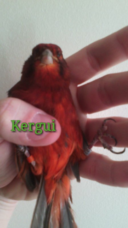 Canari noir rouge intensif mâle