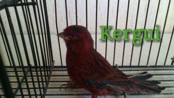 Canari noir rouge intensif
