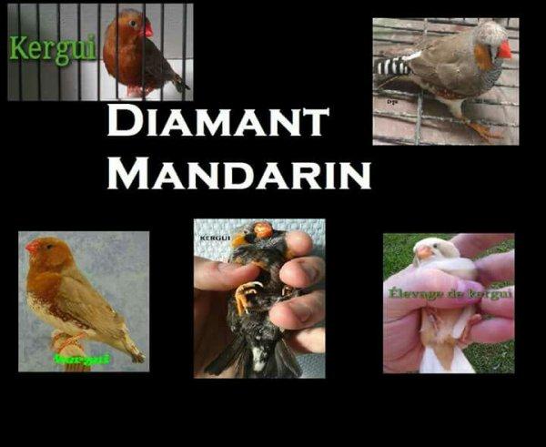 Diamant mandarin , zebra finch