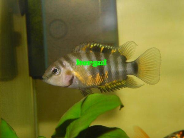 nigrofasciatus femelle