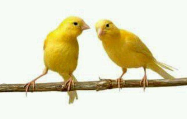 Maladies oiseaux