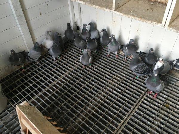 Les pigeonneaux