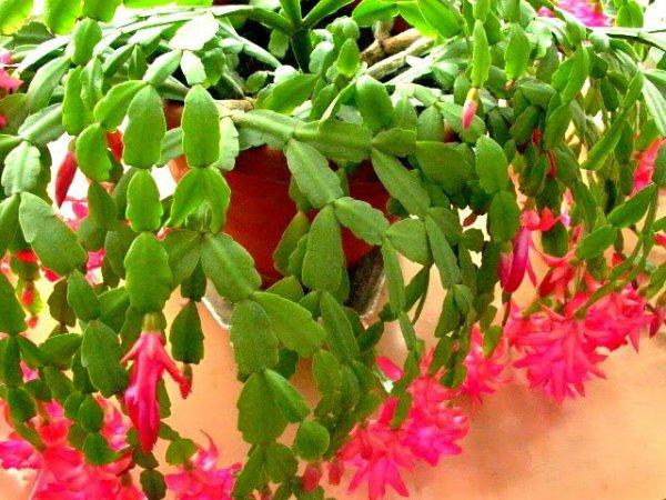 Cactus de no l schlumbergera je suis comme une for Plante de noel