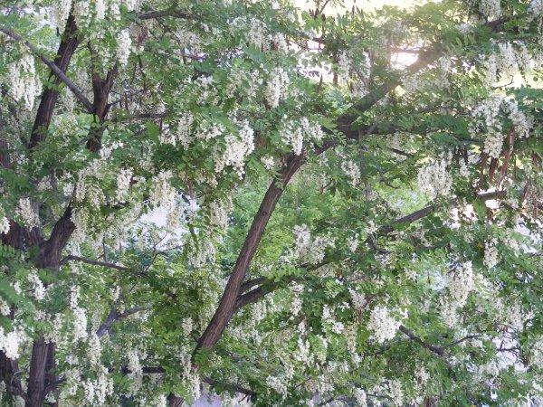 Acacia- Robinia pseudoacacia