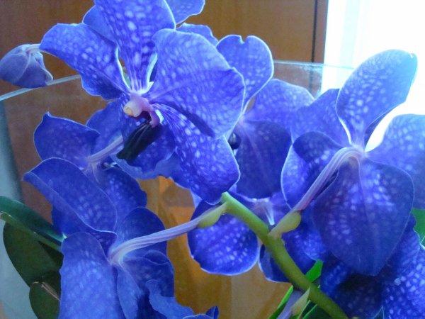Les Orchidées  bleu