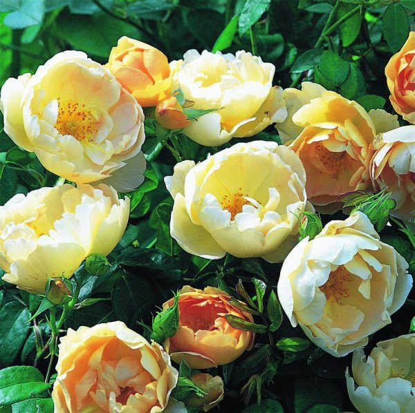 Roses Comte de Champagne