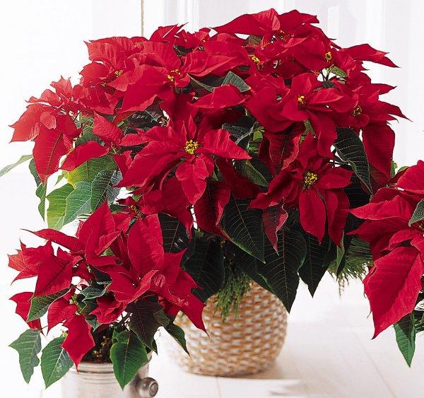 Euphorbia pulcherrima - étoile de Noël!