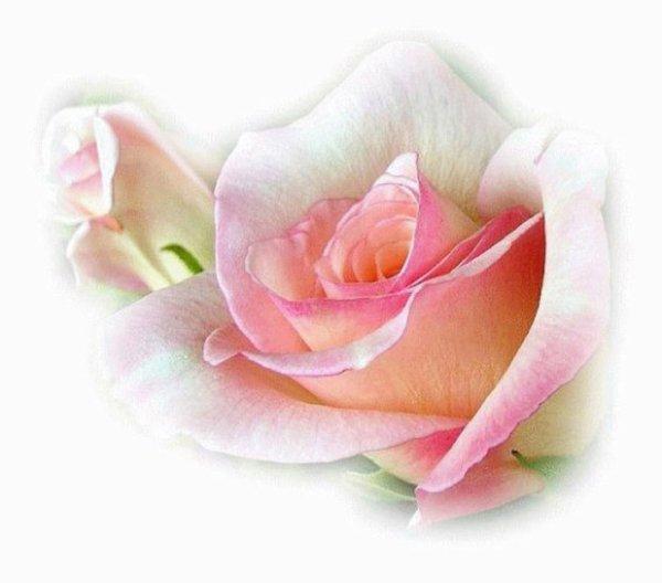 TU  ES  MA  PLUS  BELLE  ROSE..