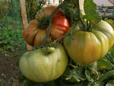 Tomate St Jacques