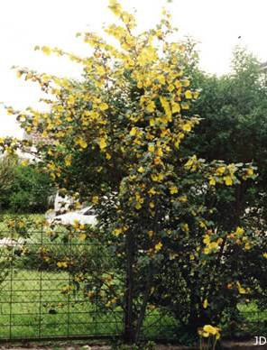 Le Frémotodendron
