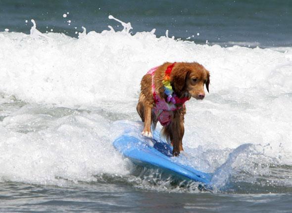 Un chien surfeur