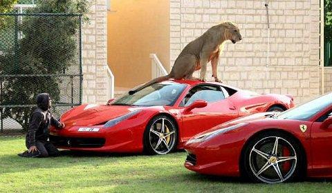 Un lion sur une Ferrari ( 2 F 458 italia )