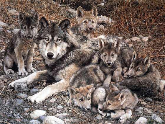 Une famille de loup