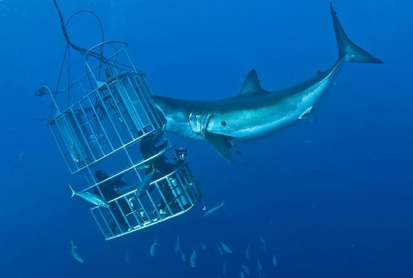Un requin s'attaque à une cage