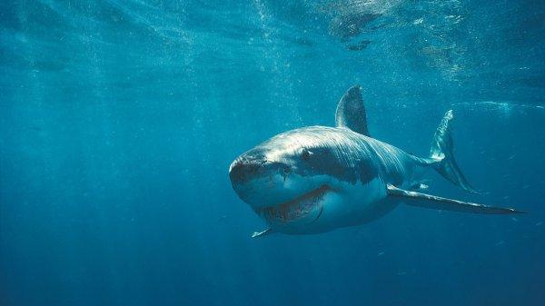 Le grand requin blanc en vadrouille
