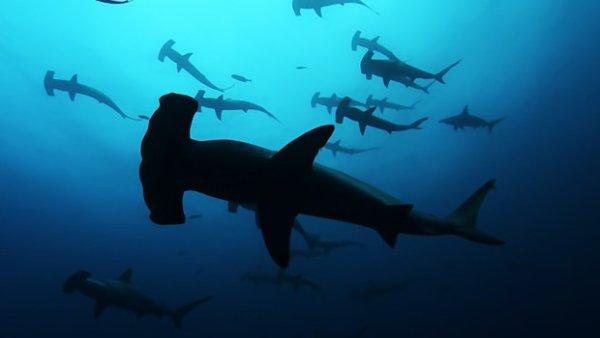 Une horde de requins marteaux