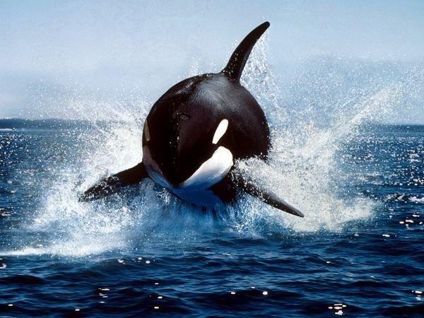 Un magnifique orque en train de sauter
