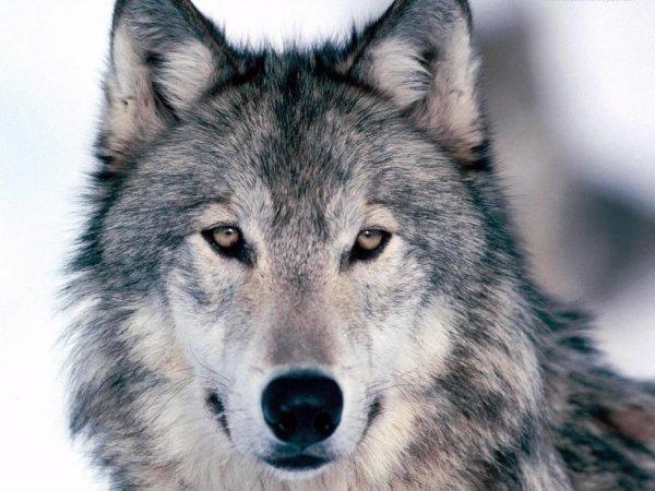 Loup grandiose
