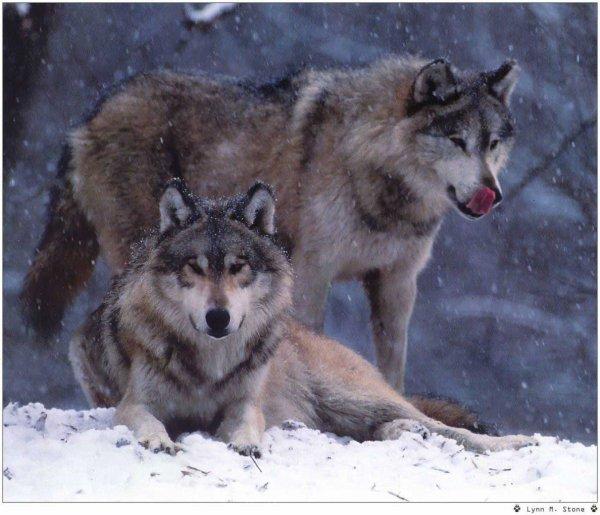 Deux loup dans la neige