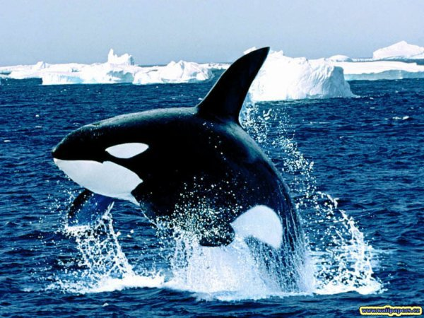 Un orque dans les iceberg