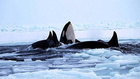 Orque dans la glace