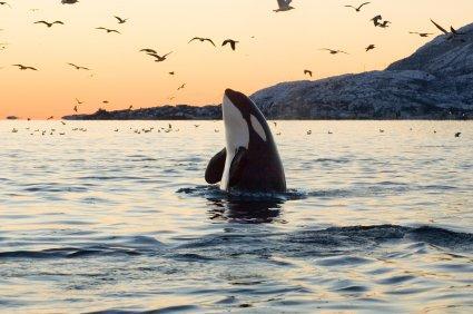 Un magnifique orque au coucher du soleil