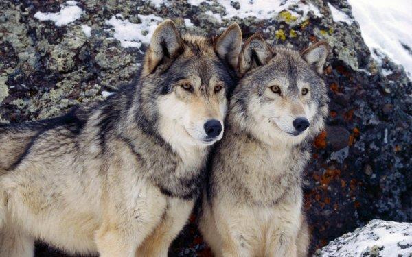 Un couple de loup