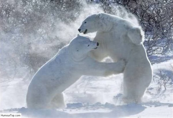 Un ours coquin