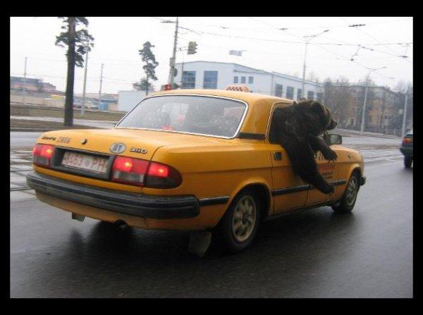 Un ours qui prend le taxi
