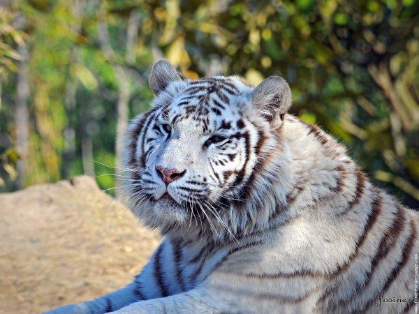 Tigre au repos