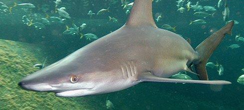 Un très beau requin