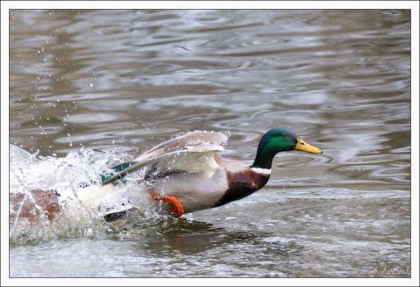 Un canard à réaction