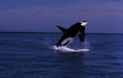 Le saut d'un orque
