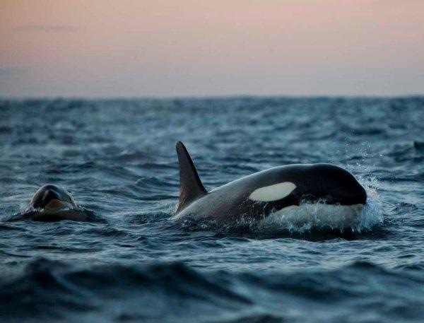 Deux orques au coucher de Soleil