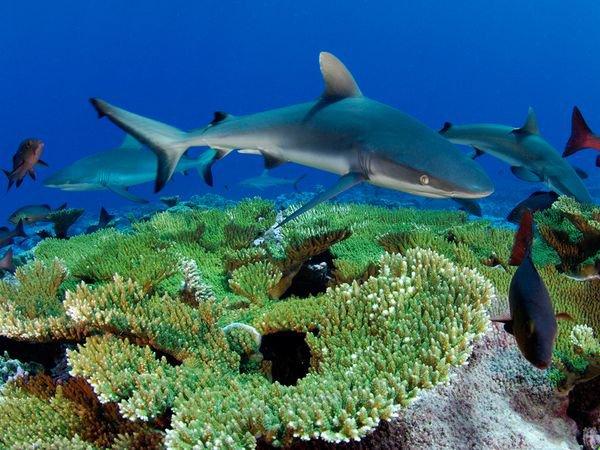 Un requin dans un récif