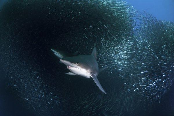 Encore un  requin dans un banc de poissons