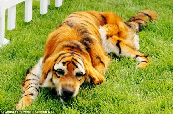 Un chien déguisé en tigre
