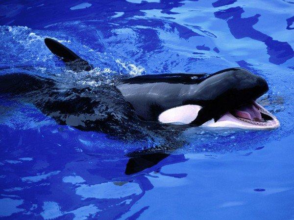 Un magnifique orque
