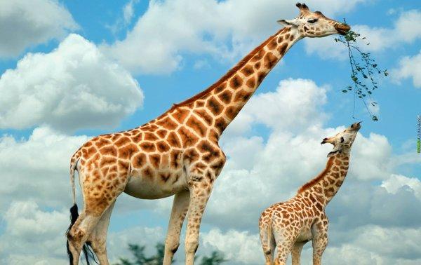 Une girafe qui nourrie sont petit