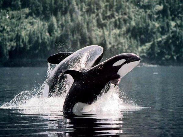 Que c'est beau les orque qui saute