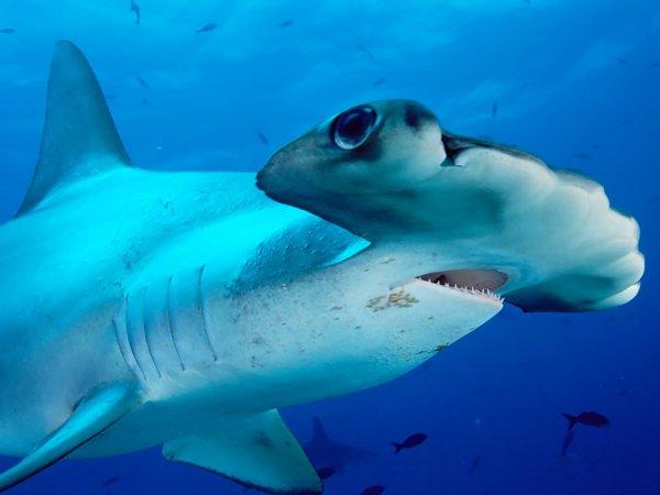 Un requin marteaux