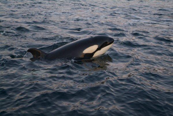 Un orque qui se balade